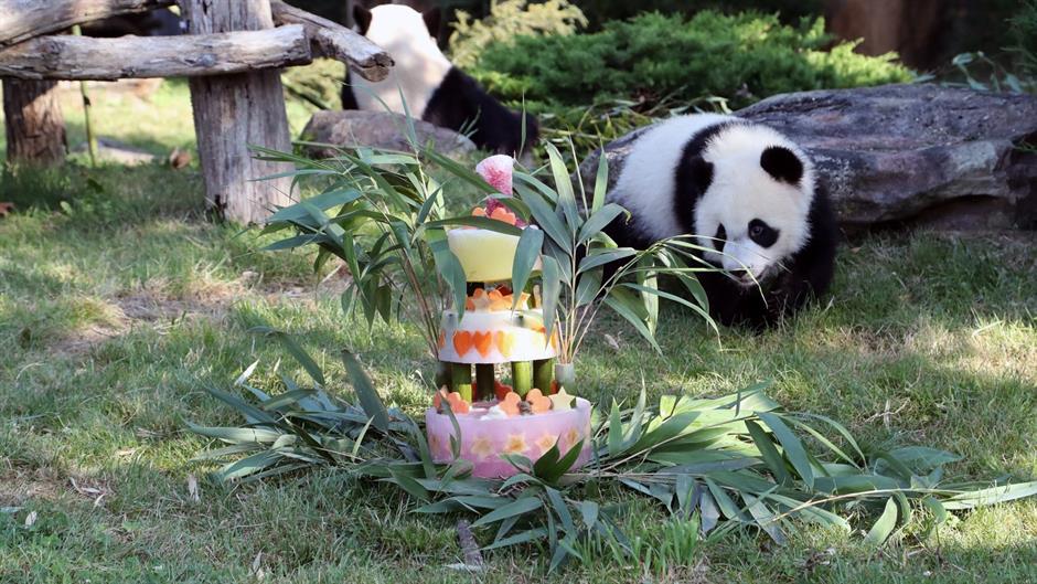 0e952dea01cbed Prva beba panda rođena u Francuskoj proslavila rođendan - CdM